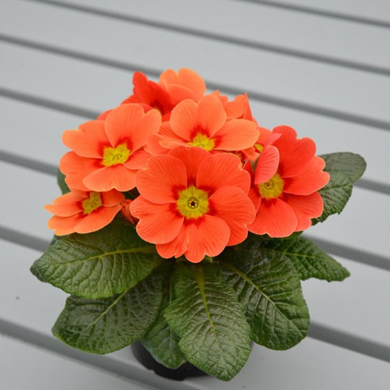Primula Ringo Star Orange Red (6) P9