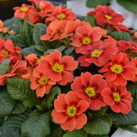 Primula Plants - Ringo Star Orange Red