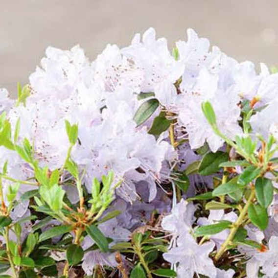 Rhododendron Plant - Blue Tit