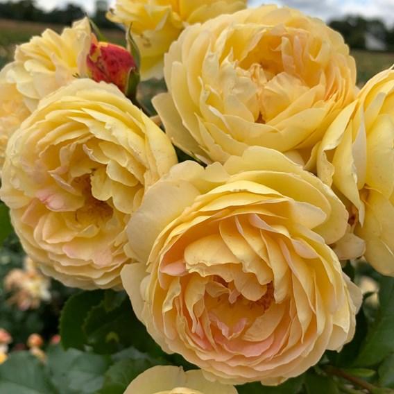 Rose Plant - Belle de Jour