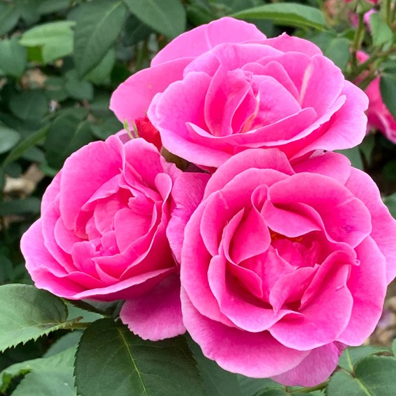 Rose Plant -Lucky