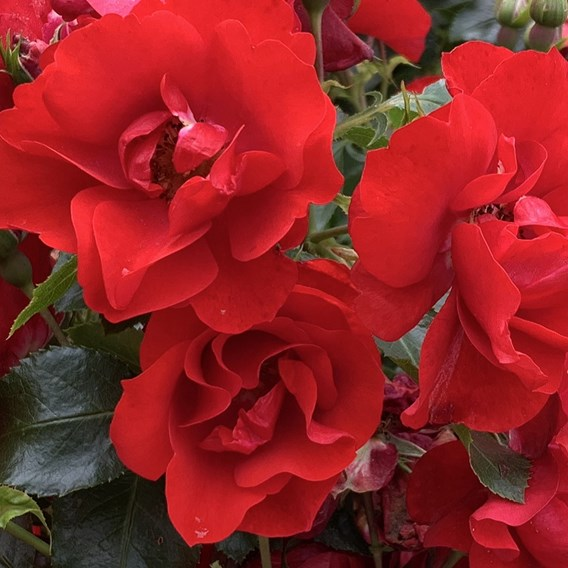 Rose Plant - Moment in Time