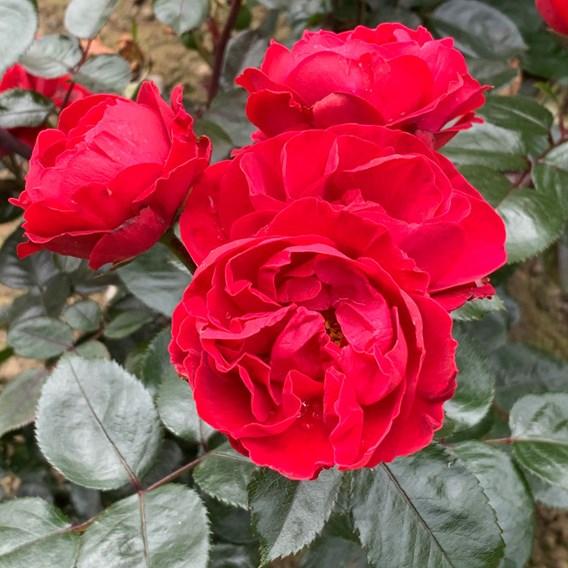 Rose Plant - Precious Ruby