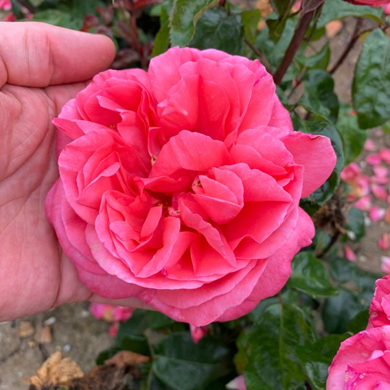 Rose Plant - Special Anniversary