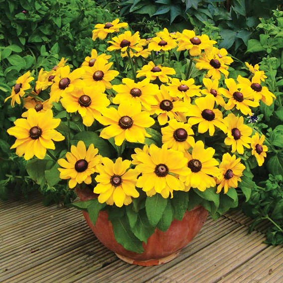 Rudbeckia Potted Plants - Toto
