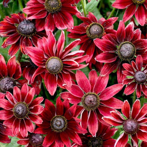 Rudbeckia Potted Plants - Cherry Brandy