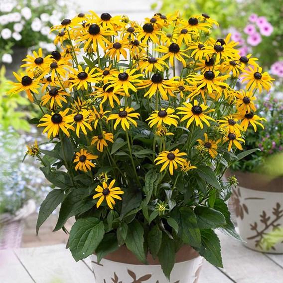 Rudbeckia Plant - Little Goldstar