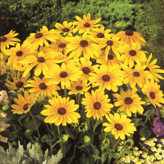 Rudbeckia Indian Summer