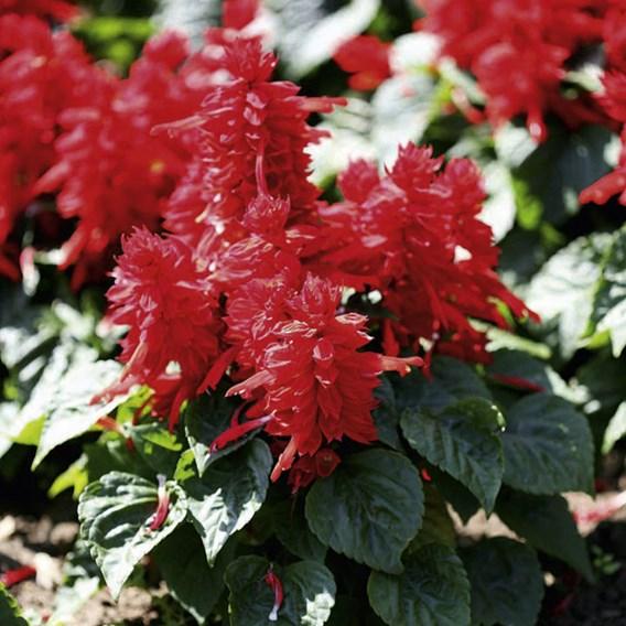 Salvia Plants - Vista Red
