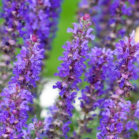 Salvia Blue Bouquetta 2Ltr