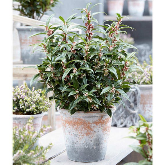 Sarcocca Plant - Winter Gem 2-3 Litre Pot x 1