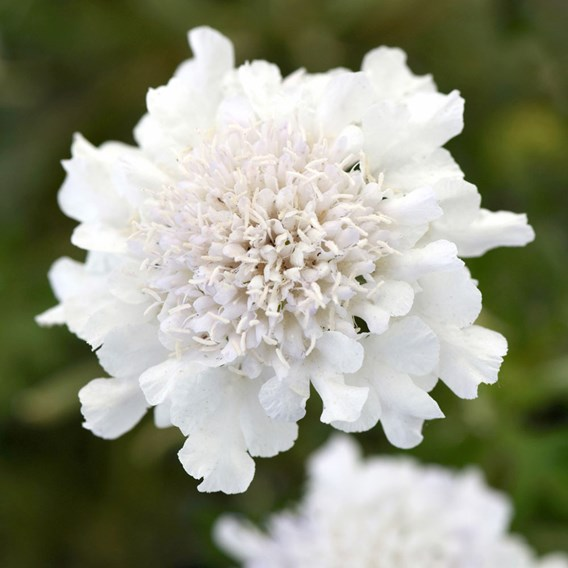 Scabiosa Flutter Pure White Plants