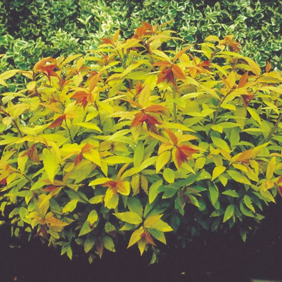 Spiraea japonice Goldflame