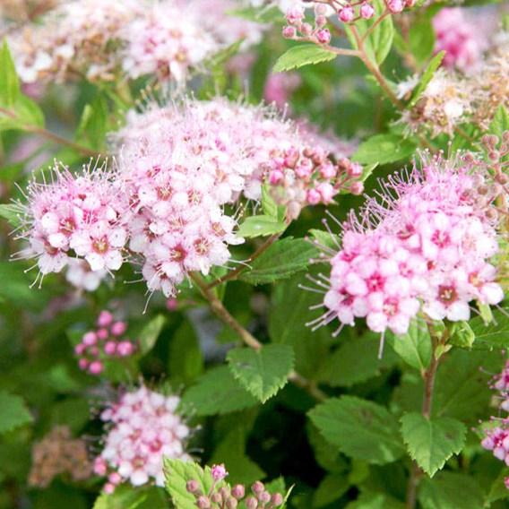 Spiraea japonica 'Little Princess'