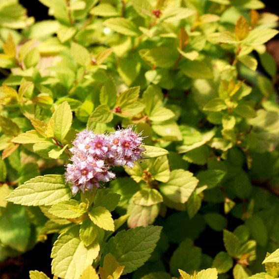 Spiraea japonica 'Sundrop'® FIRST EDITIONS®