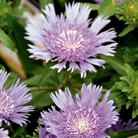 Stokesia Plant - Mels Blue