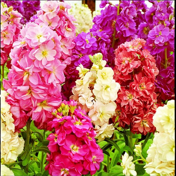 Stock Seeds - Fragrant Bedding Mix