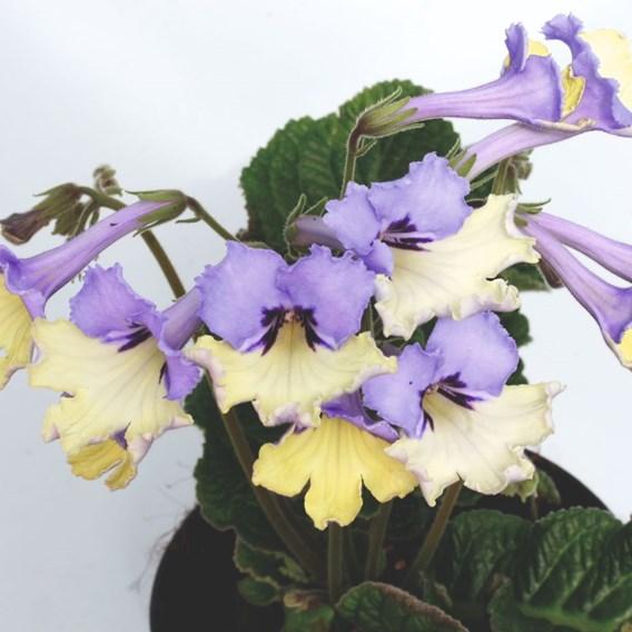 Streptocarpus Harlequin Blue