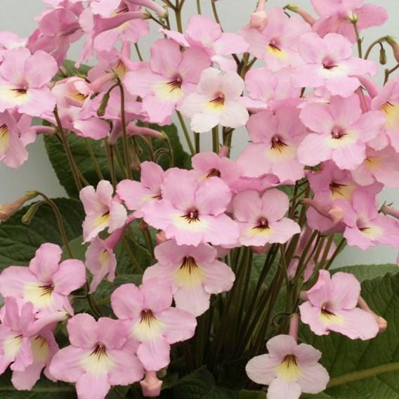 Streptocarpus Hannah