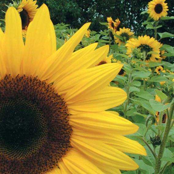 Sunflower Seeds - Giant Yellow