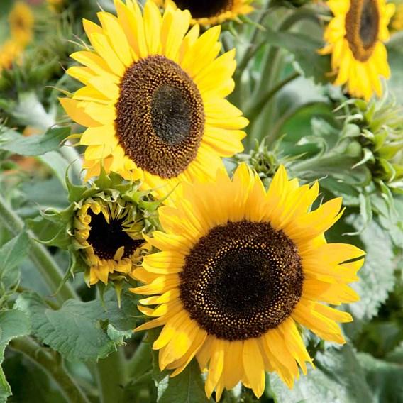 Sunflower Seeds - Waooh!