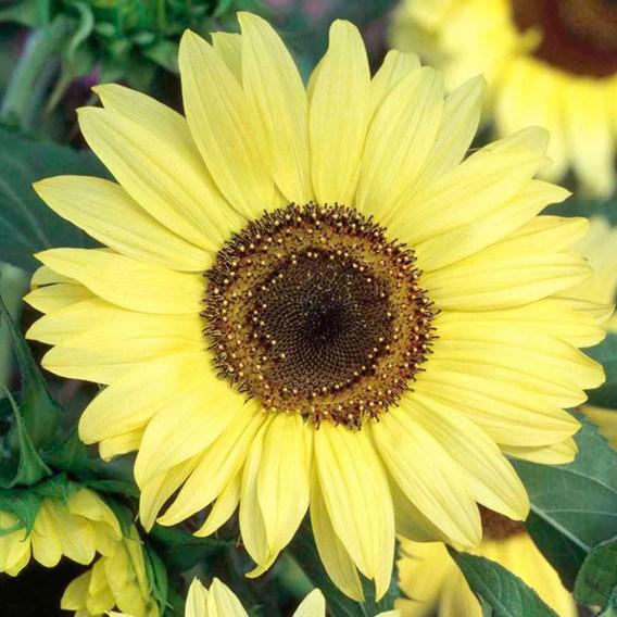 Sunflower Seeds - Moonshine