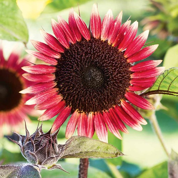 Sunflower Seeds - Ms Mars
