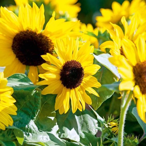 Sunflower Seeds - F1 Suntastic Yellow