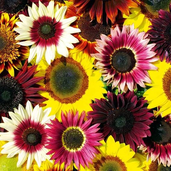 Sunflower Seeds - Cut Flower Mix