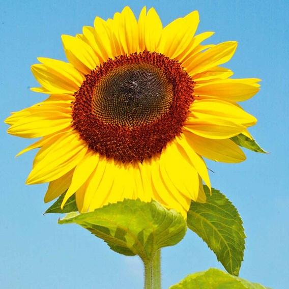 Sunflower Seeds - Titan