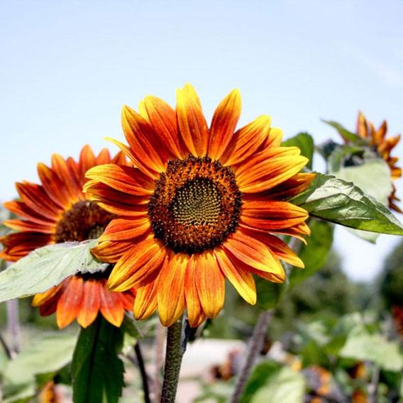 Sunflower Medium Red Flower