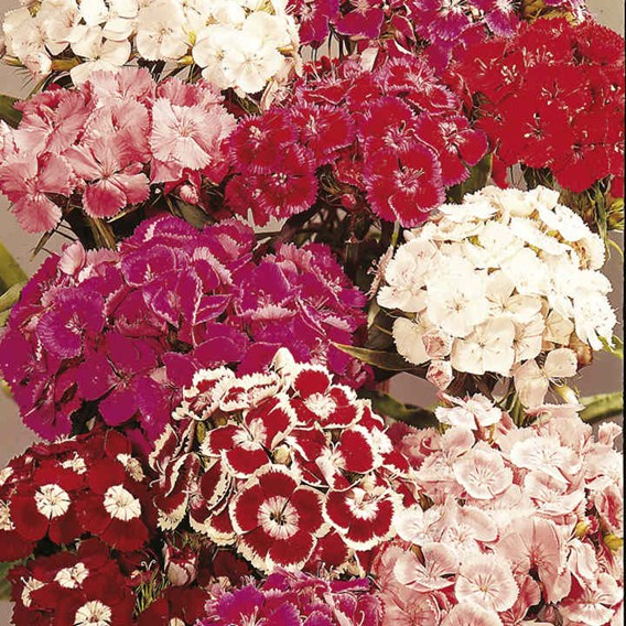 Sweet William Seeds - Perfume Mix