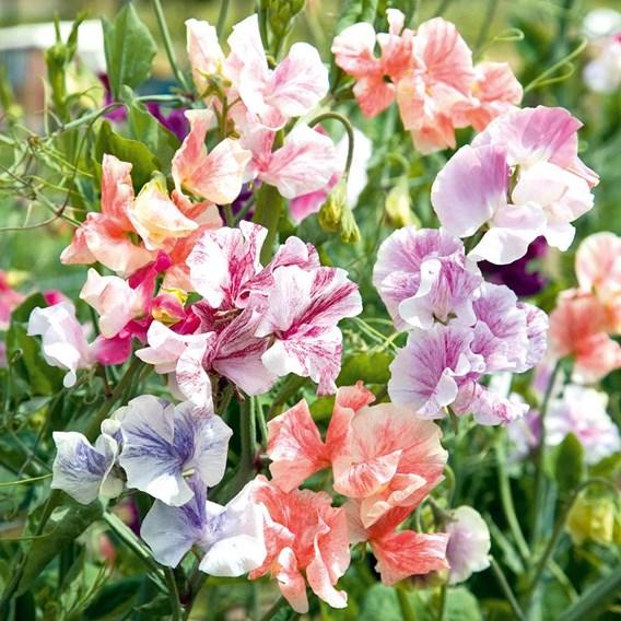 Sweet Pea Seeds - True Fragrance