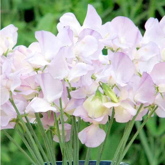 Sweet Pea Seeds - Kingfisher