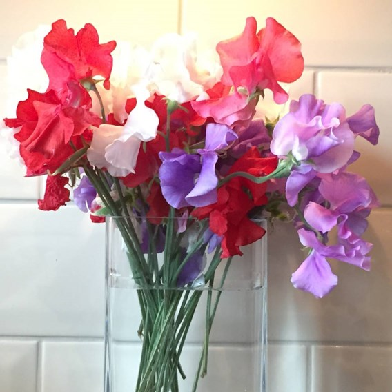 Sweet Pea - Patriotic Mix