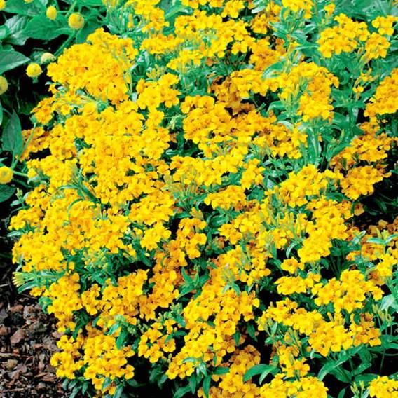Tagetes tenuifolia pumila Seeds - Lucida