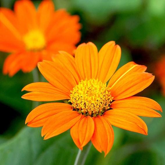 Tithonia Seeds - Orange
