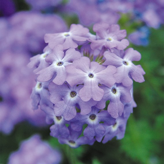 Verbena Plants - Trailing Mix