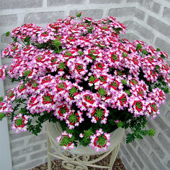 Verbena Plants - Red Rose