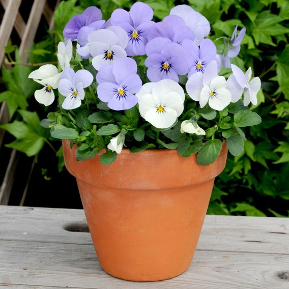 Viola Plants - Yesterday, Today & Tomorrow