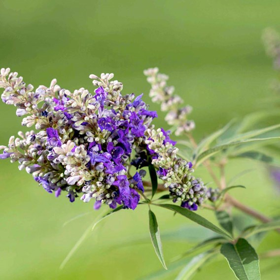 Vitex agnus-castus Plant - 'Blue Puffball®' FIRST EDITIONS®
