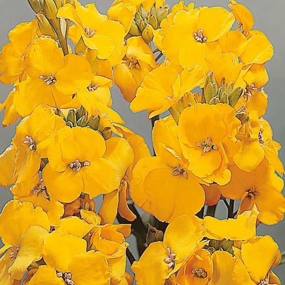Wallflower Sugar Rush Yellow (6) P9