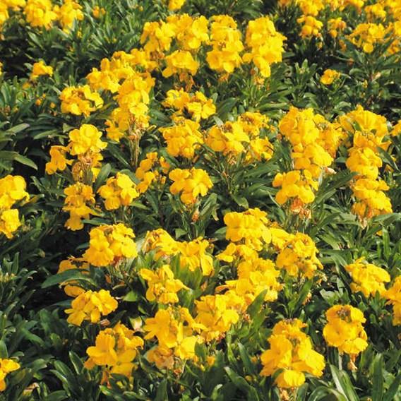 Wallflower Plants - Sugar Rush Yellow