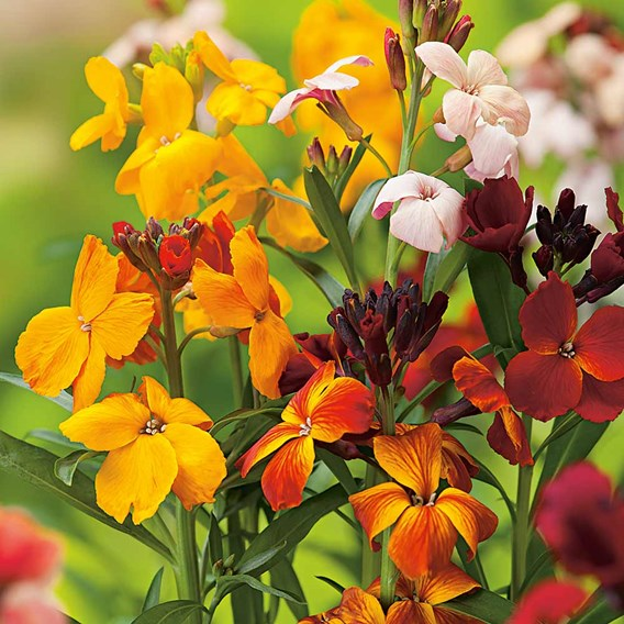 Wallflower Seeds - Persian Carpet Mix