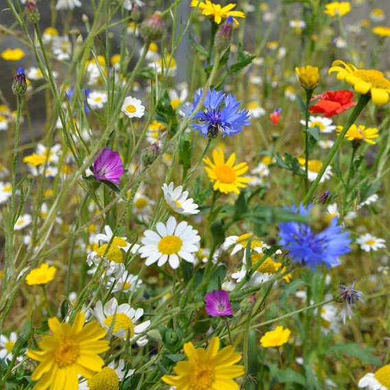Native British Wildflower Mix Seeds - Patio Pots