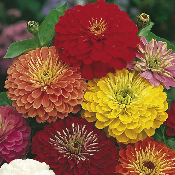Zinnia Seeds - Fireworks Mix