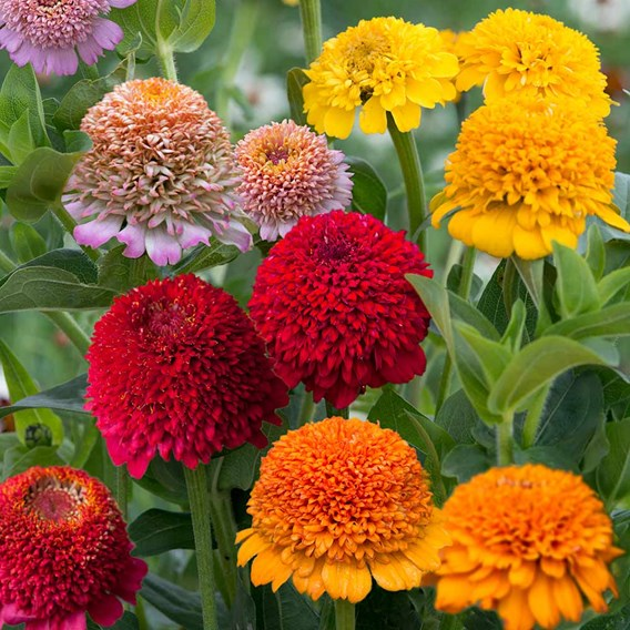 Zinnia Seeds - Faberge Mix