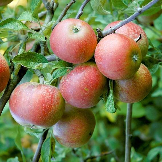 Apple Tree - Queen Cox Self Fertile