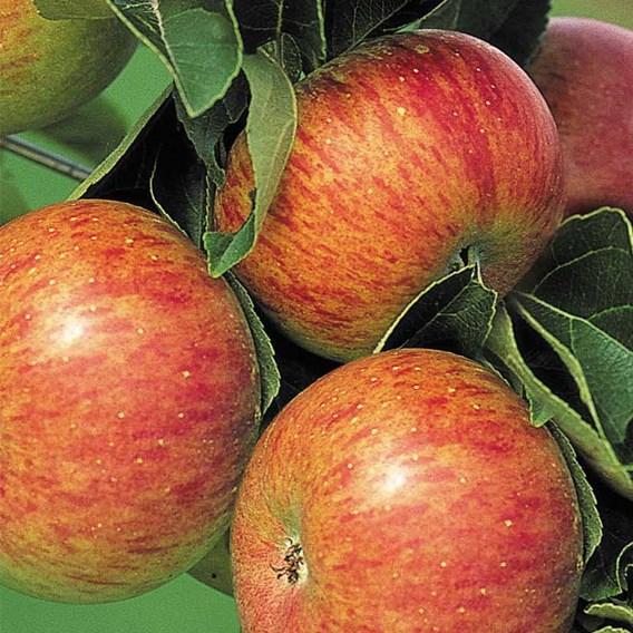 Apple Tree - Lord Lambourne