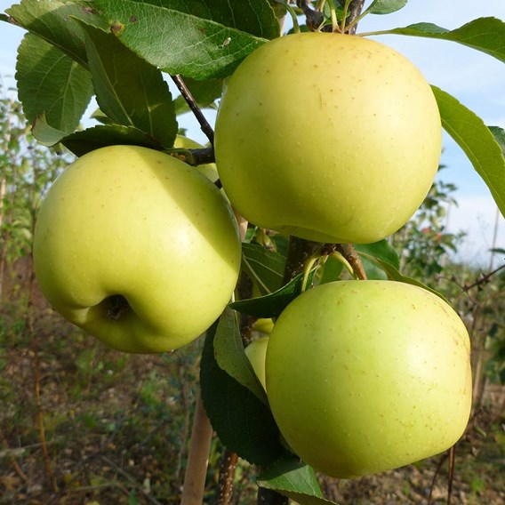 Apple (E) Greensleeves